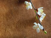 stock photo of fukushima  - Beautiful pink cherry blossom on a brown background - JPG