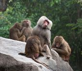 stock photo of harem  - Group of Hamadryas baboon monkeys resting on a rock - JPG