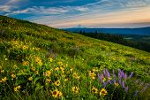 stock photo of wildflowers  - Wildflowers and view of Mount Hood from Tom McCall Point Columbia River Gorge Oregon - JPG