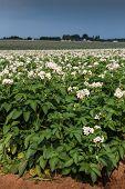 foto of potato-field  - Potato plants flower in a potato field in rural Prince Edward Island - JPG