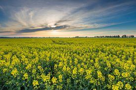image of rape-field  - Rape field landscape - JPG