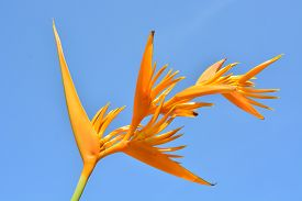 stock photo of heliconia  - Yellow Heliconia flower Heliconia psittacorum  - JPG
