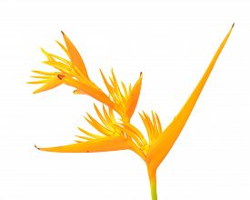 foto of heliconia  - Yellow Heliconia flower Heliconia psittacorum  - JPG