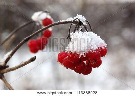 Постер, плакат: Red berries viburnum in the snow , холст на подрамнике