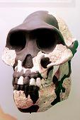 Australopithecus Skull