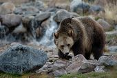foto of grizzly bear  - a grizzly bear foraging near yellowstone national park montana