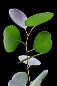 Branch Of Eucalyptus Leafs