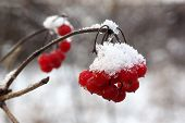 Постер, плакат: Red berries viburnum in the snow
