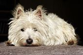 Doleful Terrier