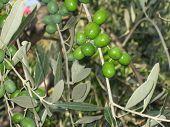 Azeitonas verdes, Bolgheri, Toscana, Itália