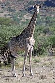 Giraffe – Giraffa Camelopardis