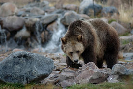picture of grizzly bear  - a grizzly bear foraging near yellowstone national park montana