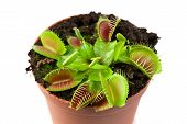 stock photo of flytrap  - Venus flytrap plant  - JPG