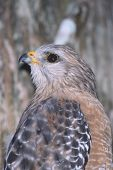 image of small-hawk  - Red-shouldered Hawk watching a small bird in the tree branches above him