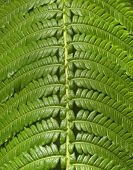 Hawaii Jungle Fern Closeup