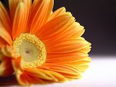 Orange Daisy Flower