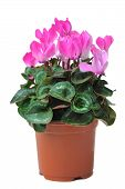 stock photo of pot plant  - flower of blooming pink cyclamen in pot isolated on white background - JPG