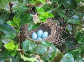 Nest In Holly Bush