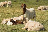 Cabra com ovelhas