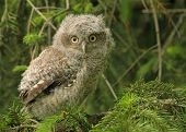 image of screech-owl  - A capture of a young screech owl - JPG