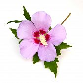 stock photo of rose sharon  - Rose of Sharon  - JPG