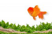 Aquarium Background And Gold Fish
