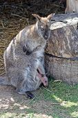 mother and baby wallaby