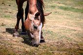 Brown Wild Horse On Meadow Idyllic Field poster