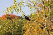 Turkey Vultures In Autumn Trees