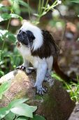 Portrait Of A Cotton Top Tamarin (saguinus Oedipus) Standing On A Rock poster