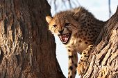 Cheetah cub in tree growling