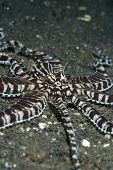 Mimic Octopus Hunting in Lembeh Straits