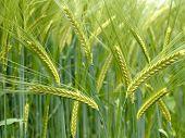 Green Durum Wheat Field