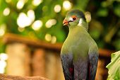 Portrait Of A Guinea Turaco Perched On A Branch poster