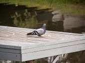 Feral Dove On The Pier. Pigeon Eating Food On The Pier. Selective Focus. Street Dove. Finding Meal. poster