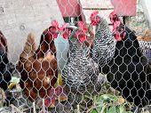 image of chicken-wire  - chickens - JPG