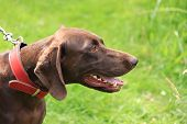 German Shorthaired Pointer, A 3 Year Old Female, Solid Brown With A Red Collar poster
