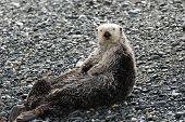 Sea Otter On Land