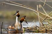 pic of great crested grebe  - great crested grebe swimming to the nest - JPG