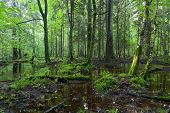 Summertime sunrise In Wet Deciduous Stand Of Bialowieza Forest