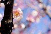 Light pink japanese apricot