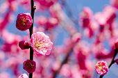 Pink japanese apricot