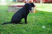 Sitting Black Dog Portrait - Labrador Hybrid And Retriever.puppy 5 Months Old Labrador Is Looking In poster