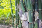 Bamboo Groves With Peeling Of Hairy And Itchy Skin And Bright Sun Shine Background poster