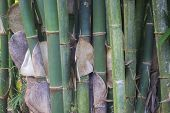 Close Up Of Bamboo Groves With Peeling Of Hairy And Itchy Skin poster