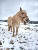 White Muddy Pony Or Horse Standing Looking At Frosty Winter Field. poster