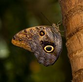 Tawny Owl Butterfly