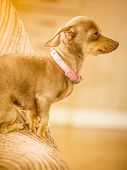 Little Pinscher Ratter Prazsky Krysarik Purebreed Small Dog Sitting Relaxing And Chilling On Sofa Co poster