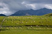 Sheep On Green Farmland