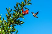 Cute Rufus Hummingbird Hovers Close To The Pomegranate Fruit For A Taste Of Morning Nectar. poster